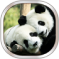 Panda Live Wallpaper thumbnail